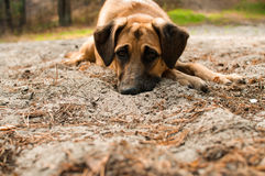Dog with sad eyes. Lying face first in the sand Royalty Free Stock Images