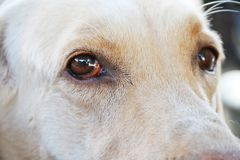 Dog sad eyes. Sad eyes of yellow white dog Stock Image