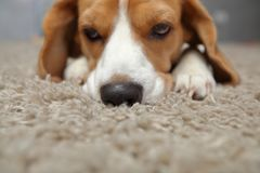 Dog sad face. Close-up. Beagle dog smells carpet Stock Photo