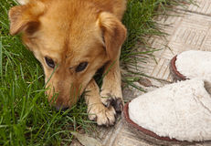 Dog sad about Slippers. On the path in the garden Stock Images
