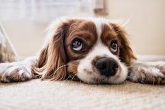 Dog, Sad, Waiting, Floor, Sad Dog Stock Image