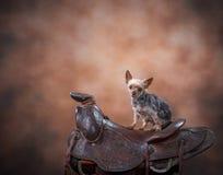 Dog on saddle. Yorkshire Terrier dog sits on a horse saddle set up in a studio royalty free stock photo