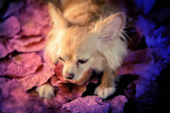 Dog in sadness mood Royalty Free Stock Photo