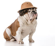 Dog on safari Stock Photography