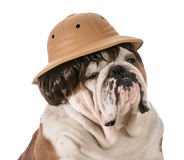Dog on safari Stock Photos