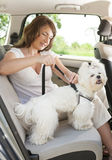 Dog safe in the car. Owner of the dog attaching safety leash to harness to make a journey safe Royalty Free Stock Image