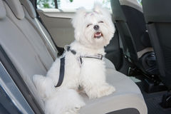 Dog safe in the car. Small dog maltese sitting safe in the car on the back seat in a safety harness Royalty Free Stock Image