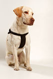 Dog with safety belt Stock Images