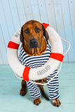 Dog-sailor with lifebuoy begging for help. A shy Rhodesian Ridgeback dog-sailor with a lifebuoy around its neck begging for help Royalty Free Stock Images