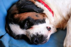 Saint Bernard dog enjoys sleeping on the bed Stock Images