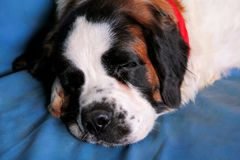 Saint Bernard dog enjoys sleeping on the bed Stock Image