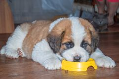 Dog Saint Bernard puppy eating out of a bowl. Dog Saint Bernard puppy eating from a bowl. lying face into a plate Royalty Free Stock Images