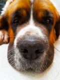 Dog saint bernard,s friend.background animal Royalty Free Stock Images