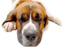 Dog saint bernard,s friend.background animal Stock Photography