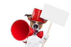 Dog sale megaphone. Jack russell dog ,shouting  and advertising  sale discount  with retro megaphone or big microphone holding white blank placard or blackboard Stock Photo