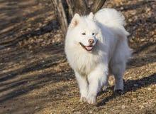 Dog - Samoyed Stock Images