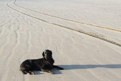 Dog on sand. Dog, flatcoat retriever, lays on sand with textures and tire tracks Stock Images