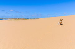 Dog in the sand in Cabo Polonio, Uruguay Stock Image