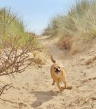 Dog on sand dune. Small dog running down a sand dune Stock Image