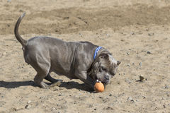 Dog in the sand playing royalty free stock images