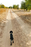 Dog at sand road in the autumn forest Stock Photography