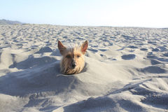 Dog in sand Royalty Free Stock Photos