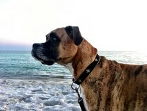 Dog on the sandy beach at sunset. Boxer dog enjoying dawn breaking on the water Royalty Free Stock Photos