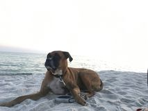 Dog on the sandy beach at sunset. Boxer dog enjoying dawn breaking on the water Stock Photo