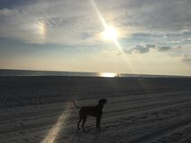 Dog on the sandy beach at sunset. Boxer dog enjoying dawn breaking on the water Stock Photography