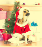 Dog in Santa Claus clothes Stock Images