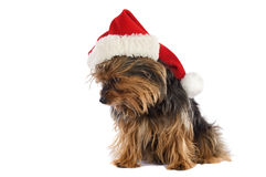Dog with Santa Claus hat Royalty Free Stock Photo