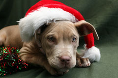 Dog in a Santa Hat. Champagne pit bull pup wearing a Santa hat stock photo