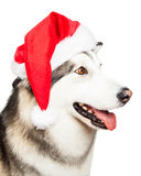 Dog with Santa hat Stock Photo