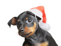 Dog in Santa hat Stock Photography