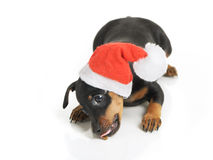 Dog in Santa hat Stock Photos