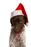 Dog in a Santa hat. Greman short haired pointer wearing a Santa hat Royalty Free Stock Images