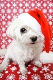 Dog in santa hat. White Maltese dog in santa hat Stock Image