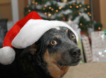 Dog in Santa Hat for Christmas Stock Photos