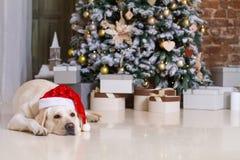 Dog in a Santa hat  lying  under a Xmas tree. Adult Labrador dog in a Santa hat  lying  under a Christmas tree Royalty Free Stock Photos