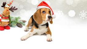 Dog in santa hat with New Year and christmas decorations background. Nice beagle dog in santa hat with New Year and christmas decorations background for greeting Stock Photography