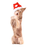 Dog with santa hat,to sit up and beg, isolated Stock Photo