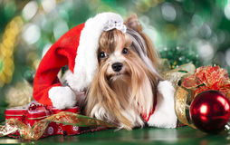 Dog with santa hats Stock Photo