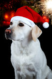 Dog with Santa's hat Royalty Free Stock Images
