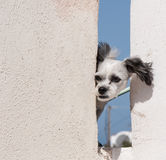 Dog at Santorini, Greece Royalty Free Stock Photography