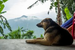 A dog in Sapa, Vietnam. A dog in Sapa, Vietnam royalty free stock image