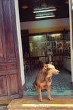 Dog sat in doorway of store. In Hoi An, Vietnam Royalty Free Stock Photos