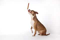 Dog with sausage. A dog sitting and trying to reach a hanging sausage Royalty Free Stock Photo