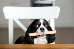 Dog with sausage Royalty Free Stock Image