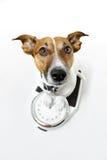 Dog scale. Dog on a white analog scale Stock Photography