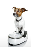 Dog scale royalty free stock photos